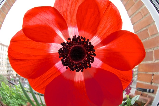 anemona (5)