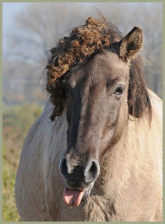 konikspaarden-12