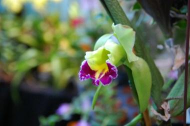yellow purple orchid