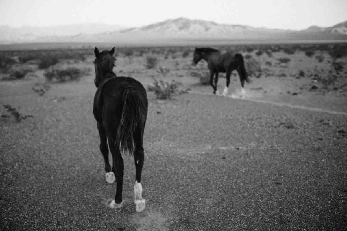 wild horses at death valley