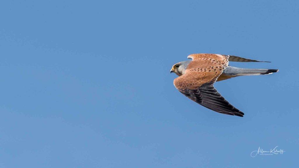flyvende-taarnfalk