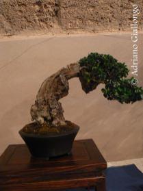 Esposizione Bonsai durante l'infiorata di Noto