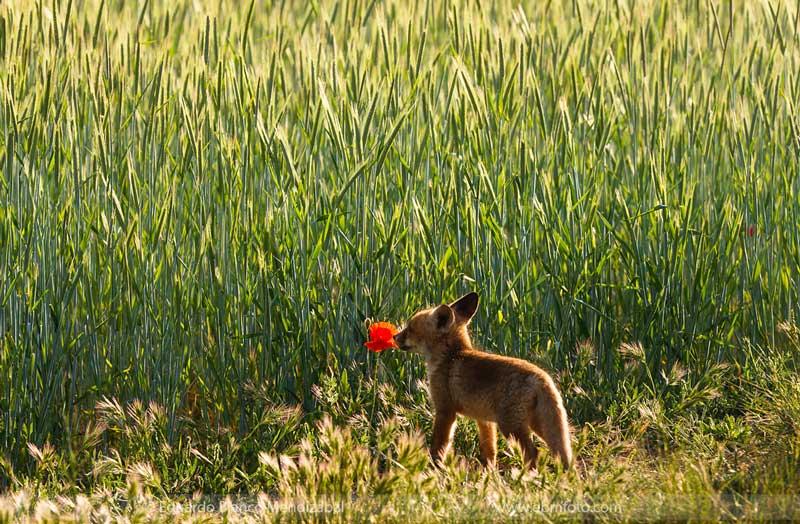 edu-blanco-zorro-amapola