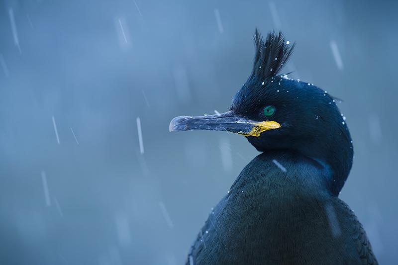 kiko-arcas-cormoran