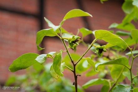 An diesem Baum wachsen die Sharoni - Früchte