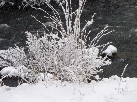 Schneeflußbusch