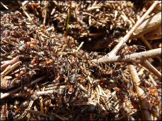Vor zwei Wochen war es an einem Ameisenhügel ruhig, keine einzige dieser fleißigen Tierchen war zu sehen. Jetzt ist ein Gewusel auf den Hügeln, waaaahnsinn :-)
