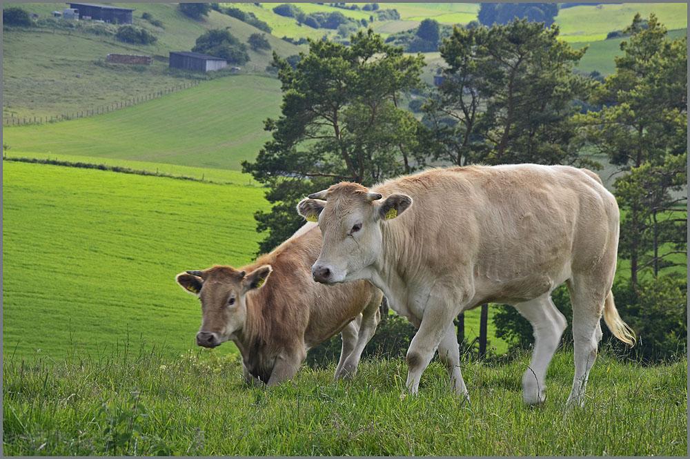 Zwei der Rinder machen sich auf die Soclen