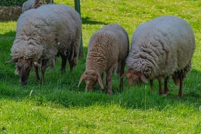 Träge Schafe auf dem Traumpfad Hochbermeler
