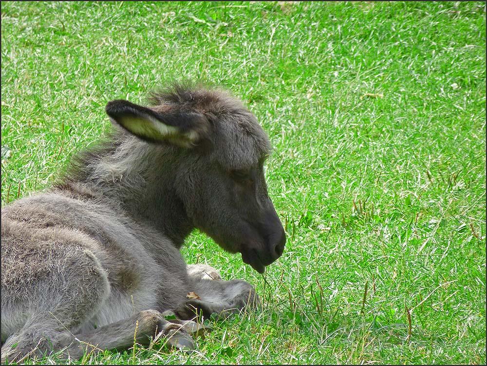 Ein Eselfohlen auf dem Berger Hof