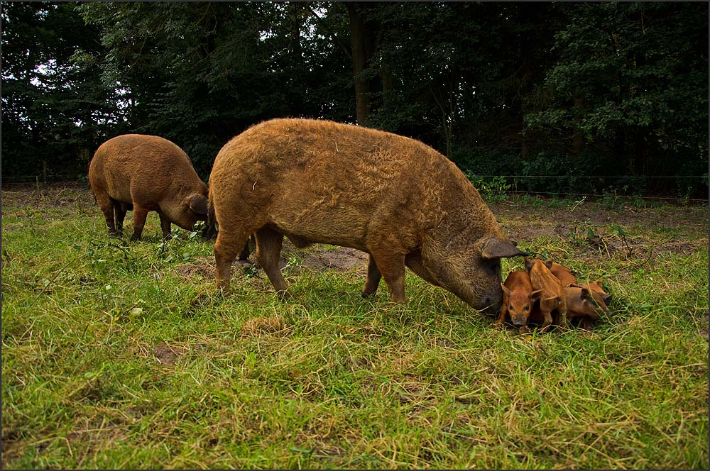 Wer im Weg steht, vorallem auf Futterplätzen, wird sanft aber bestimmt aus dem Weg geräumt - Mangalitzaschweine - Sau mit Ferkel