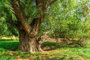 Alte Riesen Bäume am Rhein
