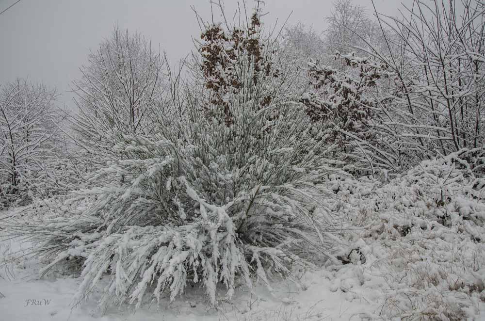 Ginster im Schnee