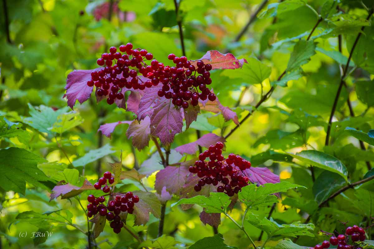 Rote Beeren, ZEechen des Herbstes der so nahe ist