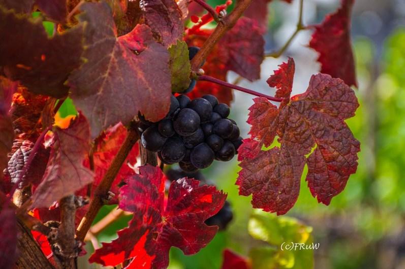 Rote Weinlaubblätter