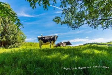 Bergisches Land und seine Rinder