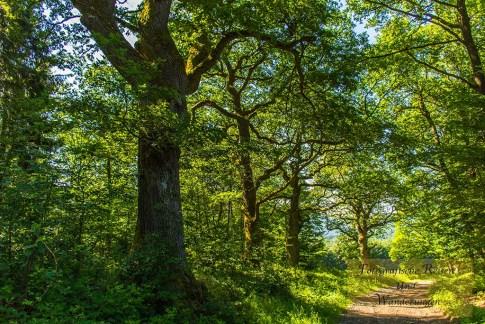 Naturdenkmal Sechs Eichen