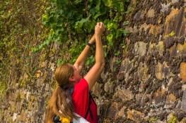 Aufgegebene Weinberge tragen noch immer Früchte