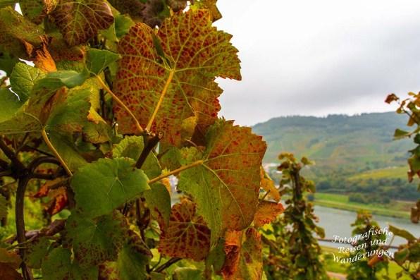 Herbstlaub an den Reben