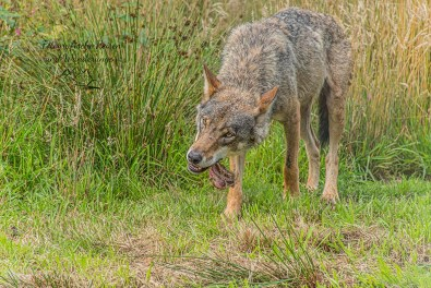 Wolf im Fressrausch