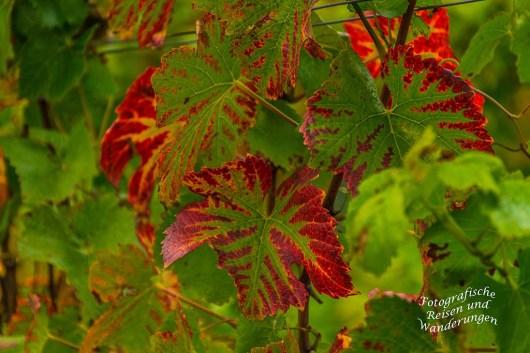 Das Weinlaub bekommt langsam seine roten Ränder