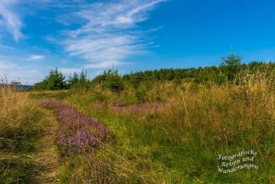 Breite Streifen Heidepflanzen auf dem Wanderweg