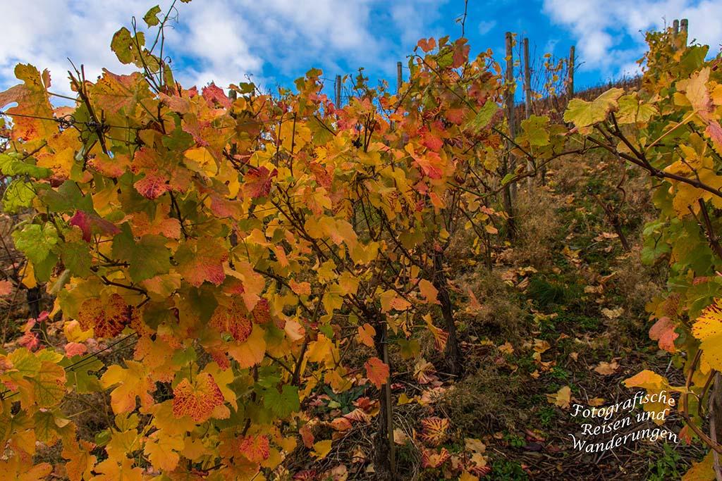 Bunt gefärbte Weinblätter an der Ahr in Rech