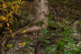 Die Baumwurzeln suchen sich Halt im Fels auf dem Traumpfädchen Riedener Seeblick