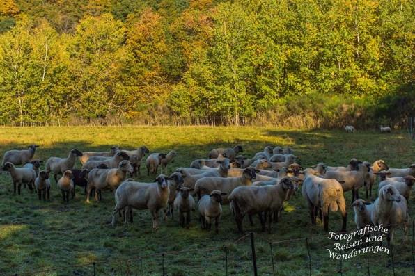 Kleine Gruppe Schafe, überwiegend Lämmer am Ortsrand von Hunolstein.
