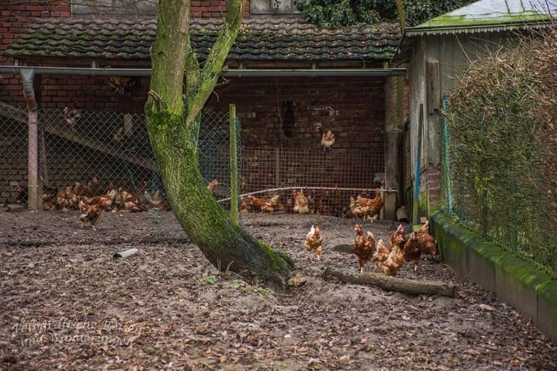 Frei laufende Hühner am Grunder Hof