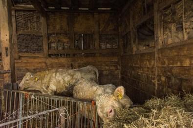 Kühe - Bauernladen Klein