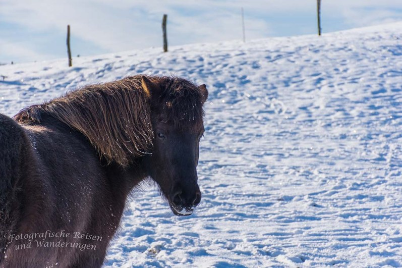 Diese robusten Zeitgenossen suchen sich unter dem Schnee die wenigen Grashalme.