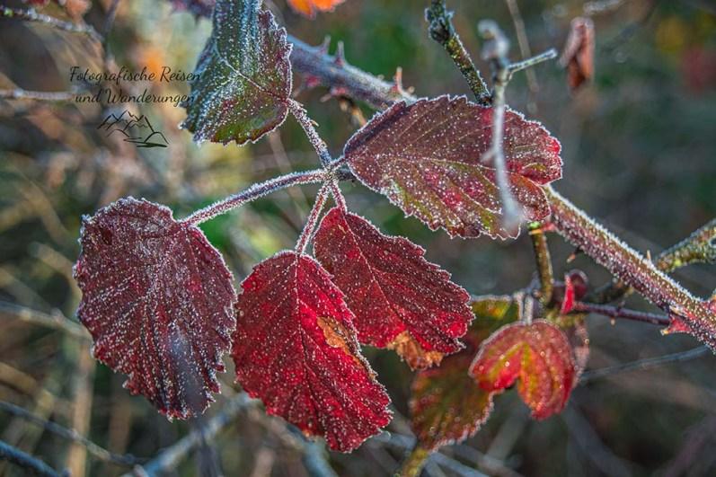 Frostige Bunte Blätter