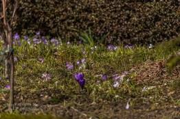 Krokusse beherrschen die Wiesen in den Vorgärten