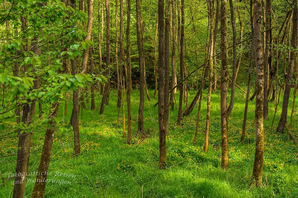Wiesenkleeteppiche im Wald auf dem Bauernhofweg