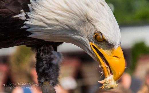 Weißkopfadler beim Küken fressen