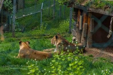 Löwenjunge aus 2016