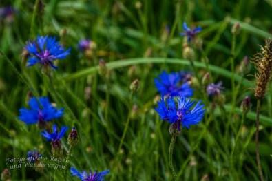 Kornblumen in kräftig blau