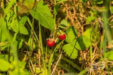 Leckere Wilde Erdbeeren