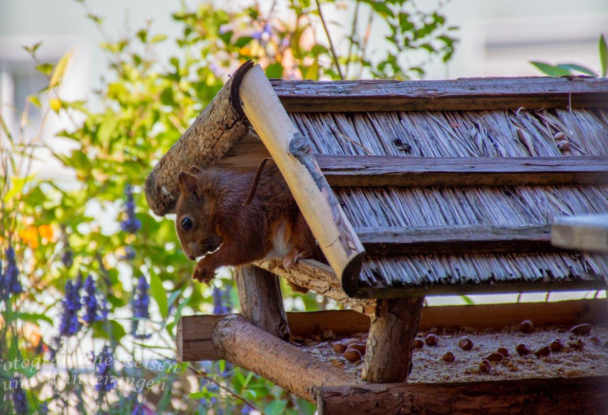 Eichhörnchen im Vogelfutterhaus