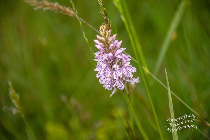 Orchideen auf der Hornisgrinde