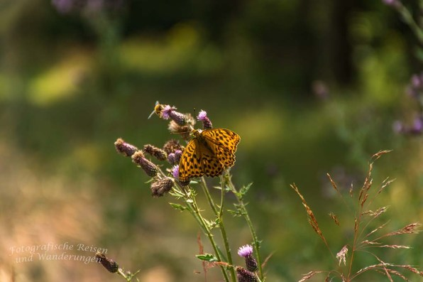Schmetterlingsparadies bei Kempenich (179)