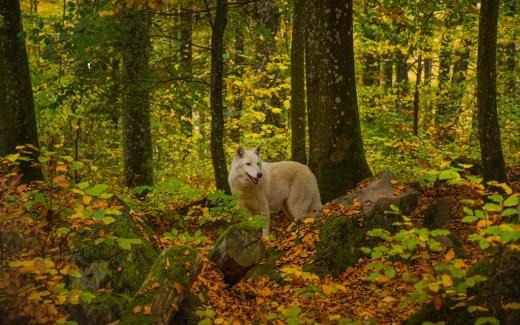 Sind Wölfe eine Gefahr für uns
