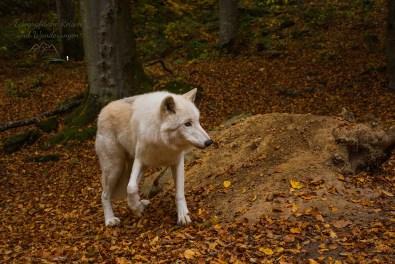 Adler-und Wolfspark Kasselburg (178)