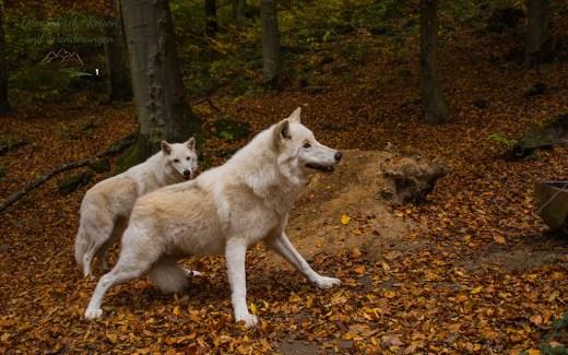 Adler-und Wolfspark Kasselburg