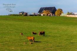 Ganz Familien auf den Rinderweiden - Über die Höhen der Ahreifel