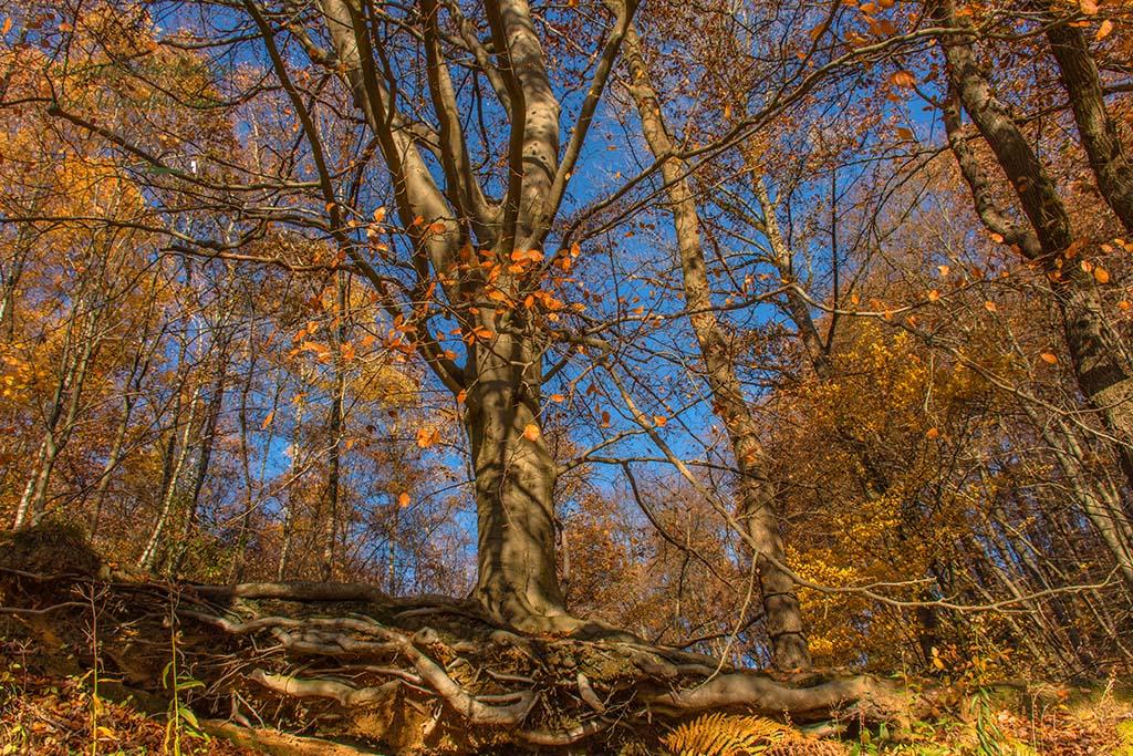 Baum im Hang, Wurzelwerk freigelegt