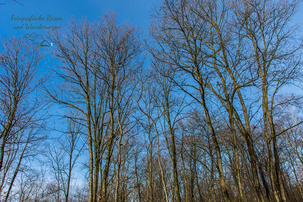 Die Bäume ragen in den blauen Himmel - Die Maikammer der Wahner Heide
