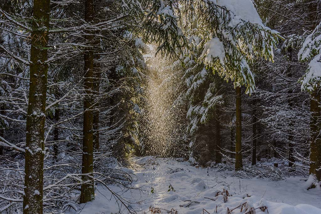 Sonne, Schnee der gerade von den Tannen herunter rieselt