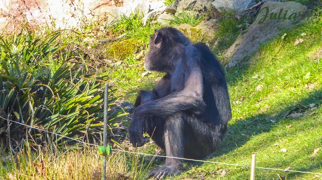 Ein alter Schimpanse